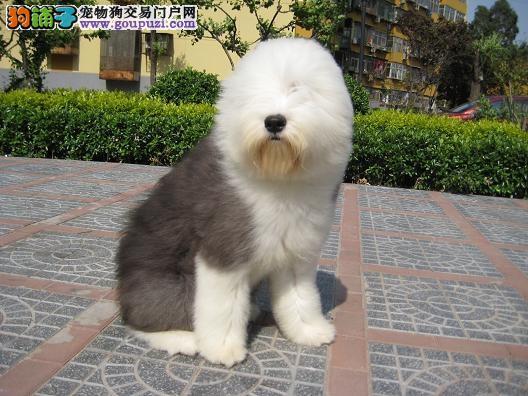 AC国际联保出售纯种古牧幼犬质保三年