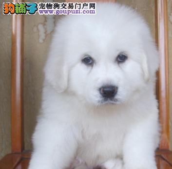 出售大白熊幼犬 售后保障 多只可选 签售后协议 包纯种