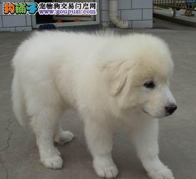 纯种大白熊超级可爱 保健康假一赔十