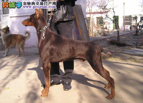 出售杜宾犬幼犬、品相血统一级棒、讲诚信信誉好