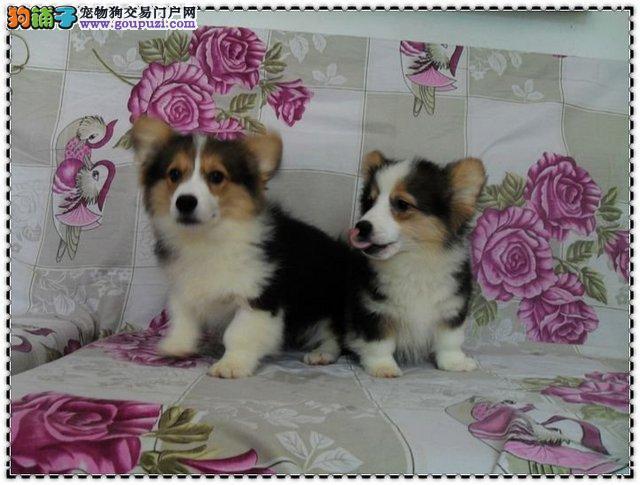 国际注册犬舍 出售极品赛级柯基幼犬签订终身协议