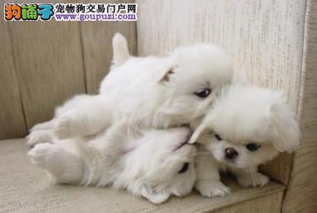 京巴犬价格 京巴犬多少钱 京巴犬图片