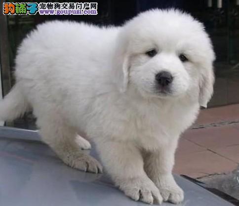 巧识疾病 如何看出大白熊犬身体异常