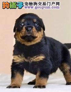 纯种赛级罗威纳犬短毛德系纯种大型罗威纳护卫犬幼犬