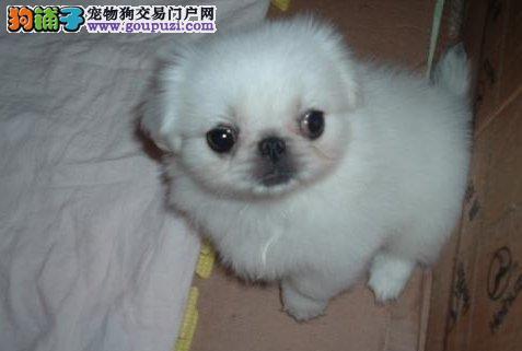 齐齐哈尔出售很小型的极品京巴犬非常正宗老北京京巴狗