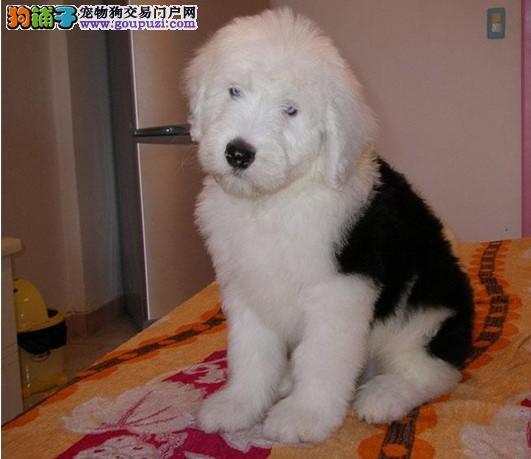 纯种古代牧羊犬出售 白头通背双杏眼体态完美 上门优惠