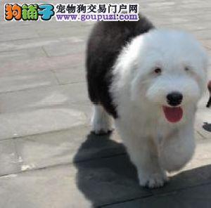 出售纯种古牧幼犬/白头齐肩通背/健康纯种