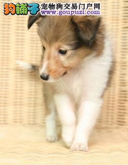 纯种犬培育中心售高品质喜乐蒂犬签质保三年可送货2