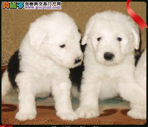纯种古代牧羊犬白头通背双踏雪 体态完美