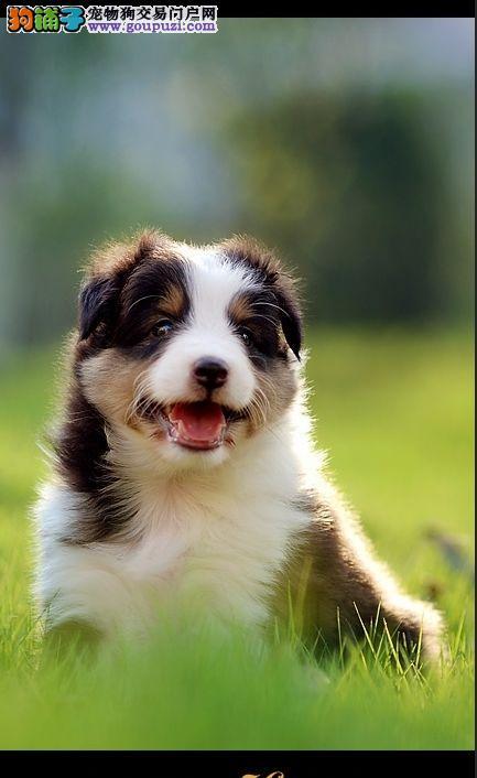 喜乐蒂犬火热预定中 驱虫疫苗已做完 可视频看狗挑选