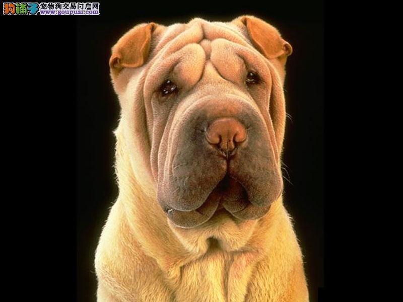 沙皮犬 合肥哪里有沙皮犬出售 包健康纯种 购买送礼包2