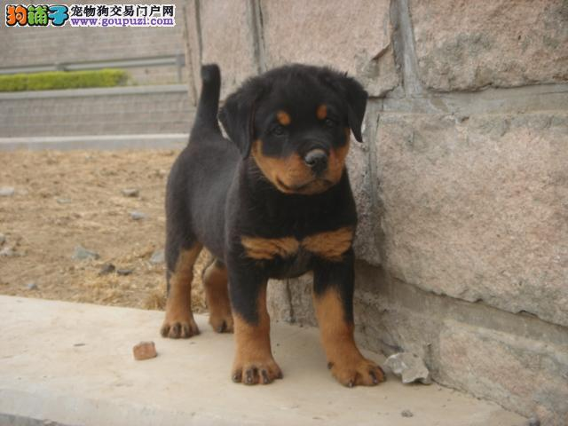 提防低价骗局 正规养殖场直销 常州买罗威纳犬必选2