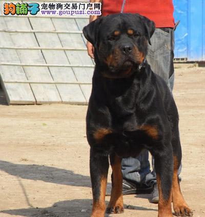 北京高品质德系大头罗威纳犬宝宝出售健康保证欢迎选购