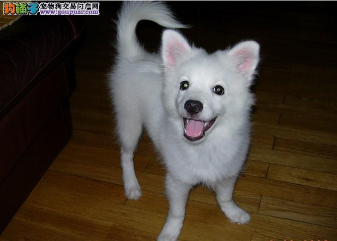 上海正规繁殖基地出售银狐幼犬价格优惠品相好上门看狗