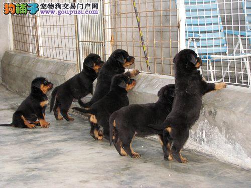 急售德系纯种罗威纳幼犬!2