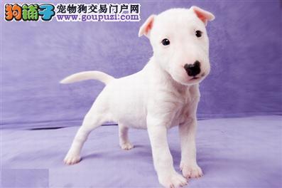 牛头梗幼犬、纯白色牛头梗 、海盗眼牛头梗3