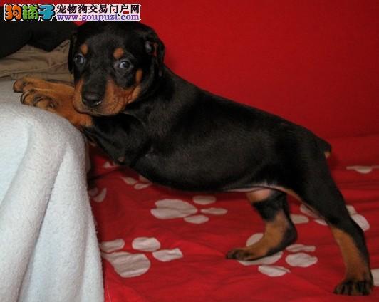 杜宾犬患上细小怎么才能治愈