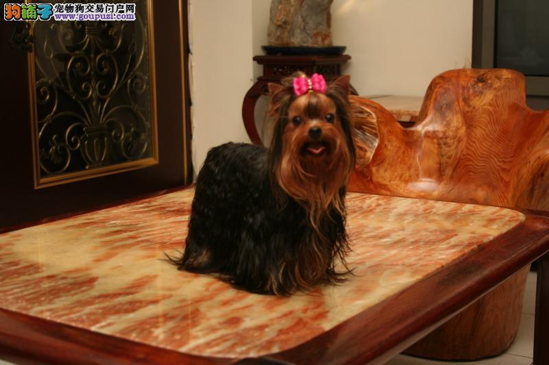 兰州出售约克夏幼犬品质好有保障诚信经营三包终身协议