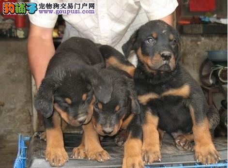 极品罗威纳等各种名犬欢迎上门选购2