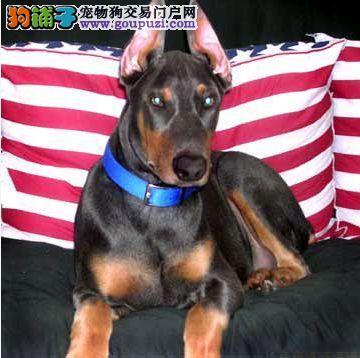 不到两个月的杜宾犬一顿吃多少狗粮