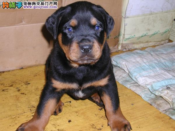 北京出售纯种德系宽嘴大骨架罗威纳防暴幼犬,特级保障