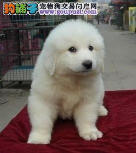 大白熊 赛级大头长毛大白熊幼犬,保纯保健康