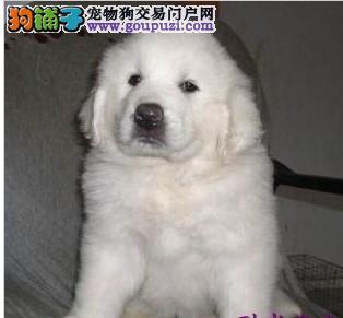 大白熊犬出现舔脚丫的原因及治疗方法