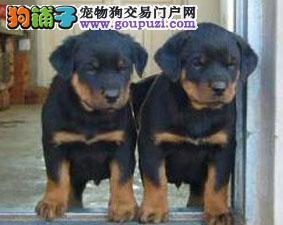 出售AKU血统纯种赛级罗威纳幼犬 公母都有纯种健康