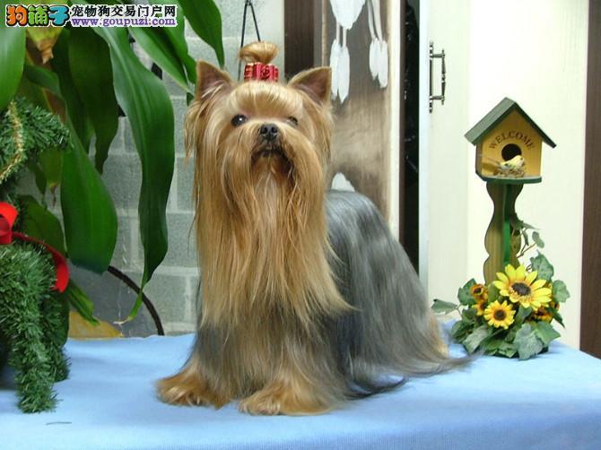 约克夏犬(种犬,幼犬)出售特价卖