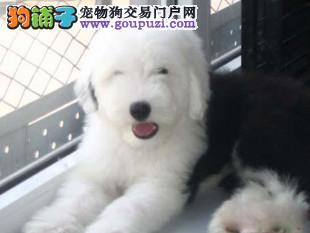 北京最专业古牧犬舍出售英国古代牧羊犬幼犬