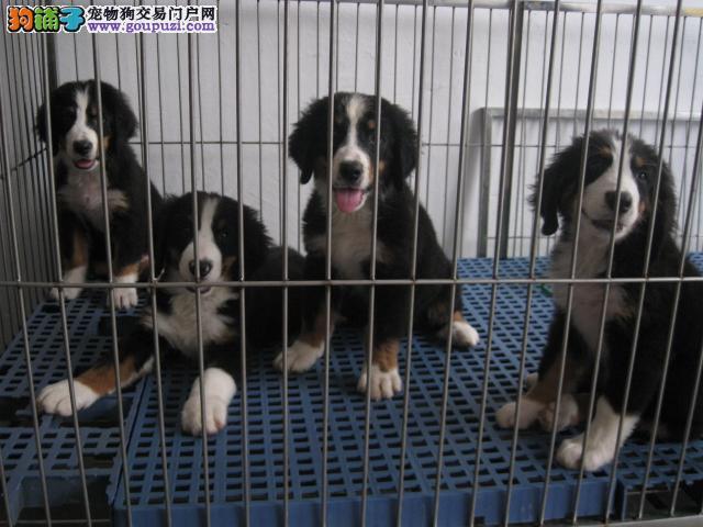 广州伯恩山犬专卖 山地犬出售 多只挑选 欢迎上门挑
