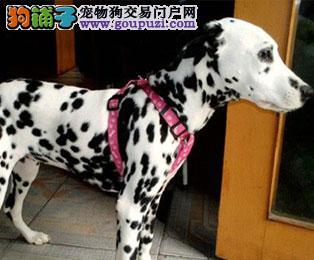 唐山专业的斑点狗犬舍终身保健康全国质保全国送货