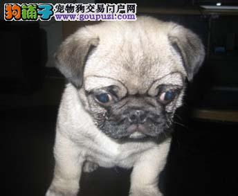 吐鲁番纯种巴哥犬幼犬转让 签协议保健康 赛级巴哥犬