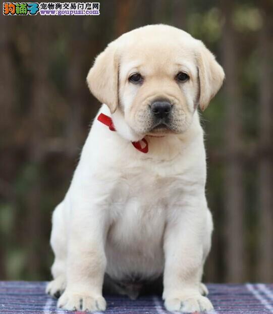 宠信会馆冠军犬后代 赛级拉布拉多幼犬低价出售中