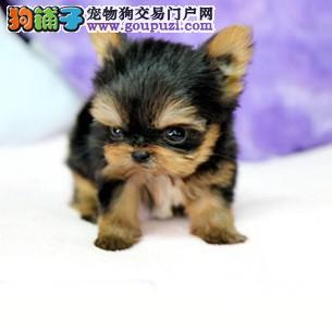 南京买纯种赛级约克夏犬签协议保健康可看父母可送货