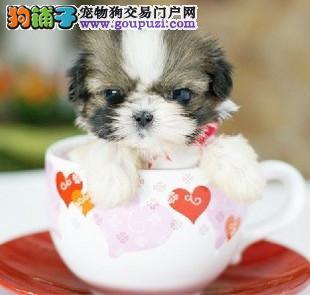 茶杯犬 纯种袖珍 迷你袖珍 CKU血统 育苗已做3