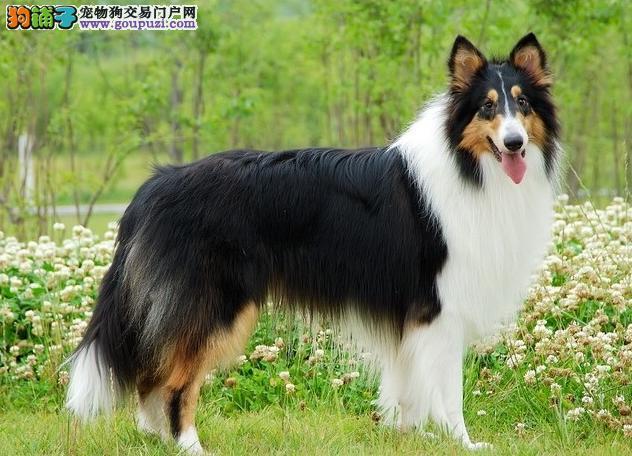 纯种苏格兰牧羊犬,三色 雕色 黄色 血统纯
