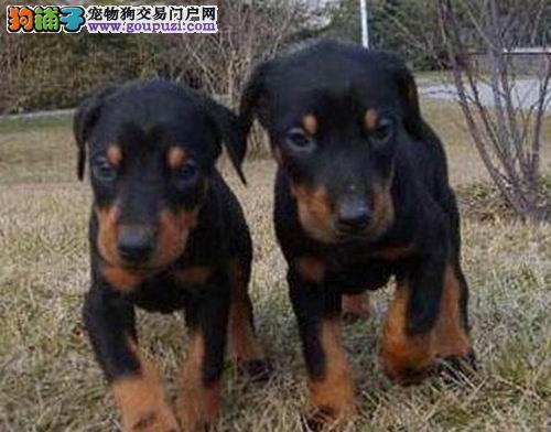 纯种德系杜宾幼犬-保纯种 保健康 保品质! -