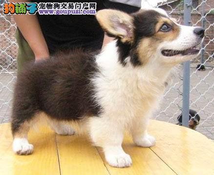 威尔士柯基犬纯种粗骨架三色黄白色柯基幼犬