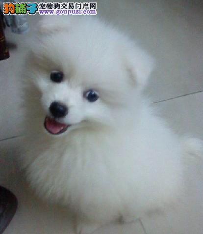 尘扬狗场狗场直销纯白色的尖嘴银狐犬非常活泼可爱