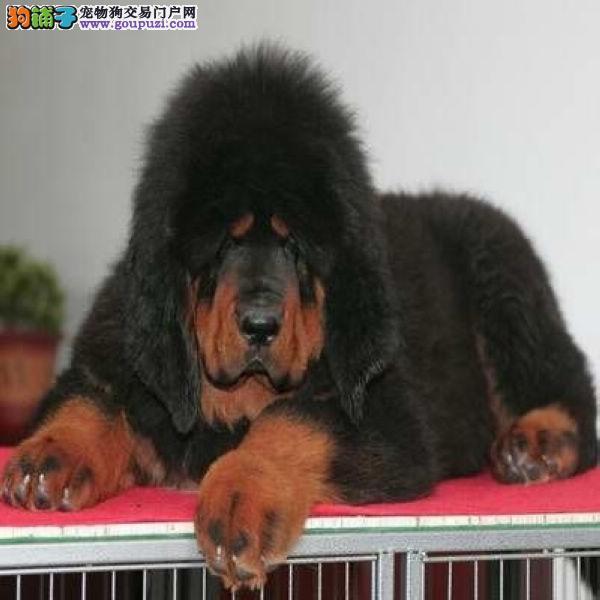 上海/上海宠物家园出售纯种大狮子头铁包金藏獒幼犬宝宝