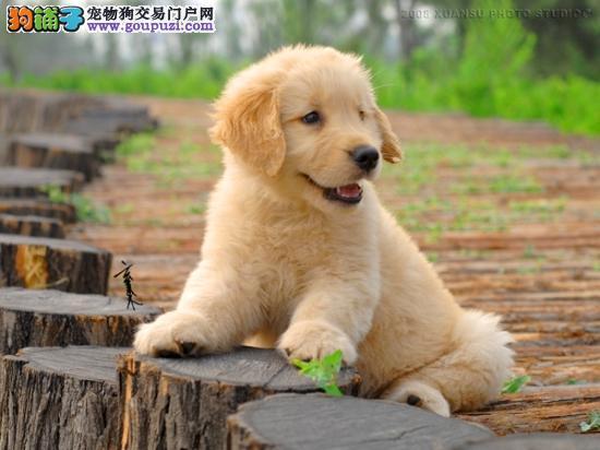 河北高品质金毛犬性格温和公母均有疫苗驱虫已做可送