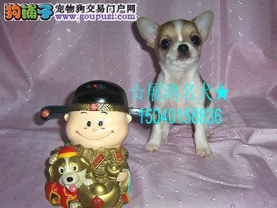 最小巧可爱的吉娃娃小宝宝出售