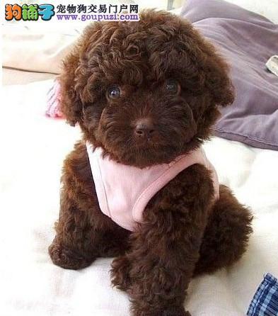 出售高品质韩国引进的泰迪宝宝 红色 巧克力色泰迪