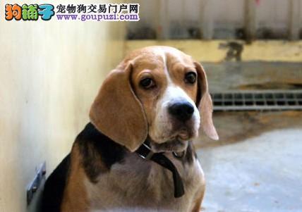 最小狗狗世界纪录再创新高,身长只有15厘米5