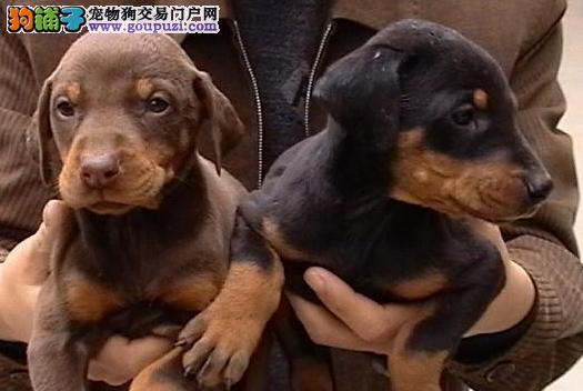出售纯种 德系杜宾 美系杜宾 杜宾幼犬