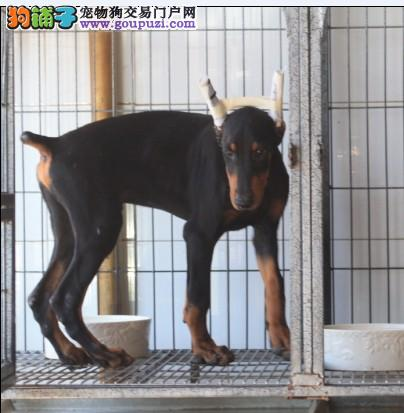 高品质德系杜宾幼犬待售 耳朵已立
