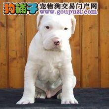 杜高犬幼犬出售中、纯度好100%健康、签订活体协议