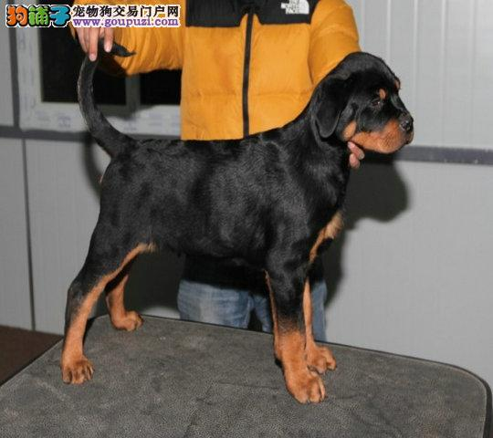 高品质防暴犬罗威纳出售 纯种德系大头版 罗威纳幼犬