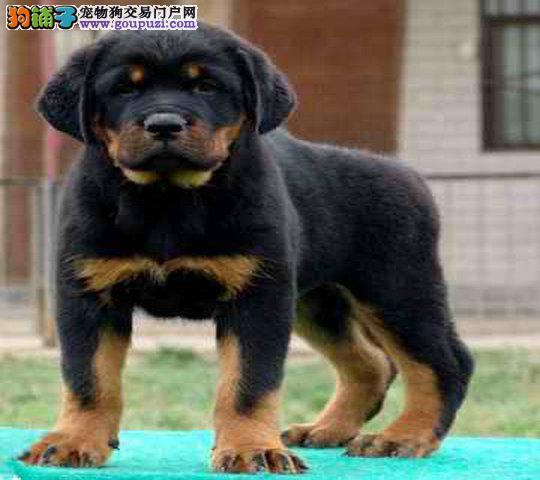 养殖基地 出售各类纯种名犬罗威纳